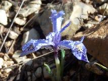 μπλε λουλούδι με τις άσπρες και κίτρινες χρωστικές ουσίες που φέρνουν τα σταγονίδια του νερού στοκ φωτογραφία