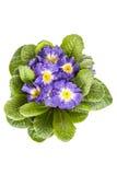 Μπλε λουλούδι με το πράσινο φύλλο απομονωμένο στο λευκό υπόβαθρο στοκ εικόνες