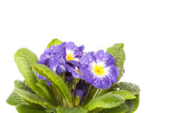 Μπλε λουλούδι με το πράσινο φύλλο απομονωμένο στο λευκό υπόβαθρο Στοκ Φωτογραφία