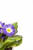 Μπλε λουλούδι με το πράσινο φύλλο απομονωμένο στο λευκό υπόβαθρο στοκ φωτογραφίες με δικαίωμα ελεύθερης χρήσης
