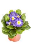 Μπλε λουλούδι με το πράσινο φύλλο απομονωμένο στο λευκό υπόβαθρο στοκ φωτογραφίες