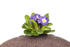 Μπλε λουλούδι με το πράσινο φύλλο και ρίζα στο καφετί εδαφολογικό υπόβαθρο στοκ εικόνα