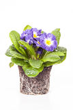 Μπλε λουλούδι με το πράσινο φύλλο και ρίζα στο καφετί χώμα που απομονώνεται στο άσπρο υπόβαθρο Στοκ εικόνα με δικαίωμα ελεύθερης χρήσης