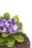 Μπλε λουλούδι με το πράσινο φύλλο και ρίζα στο καφετί χώμα που απομονώνεται στο άσπρο υπόβαθρο Στοκ εικόνες με δικαίωμα ελεύθερης χρήσης
