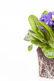 Μπλε λουλούδι με το πράσινο φύλλο και ρίζα στο καφετί χώμα που απομονώνεται στο άσπρο υπόβαθρο στοκ φωτογραφίες
