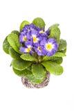 Μπλε λουλούδι με το πράσινο φύλλο και ρίζα στο καφετί χώμα που απομονώνεται στο άσπρο υπόβαθρο Στοκ φωτογραφία με δικαίωμα ελεύθερης χρήσης
