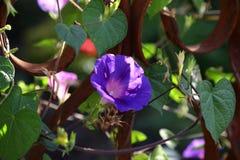 Μπλε λουλούδι μια θερινή ημέρα στον ήλιο Στοκ εικόνες με δικαίωμα ελεύθερης χρήσης