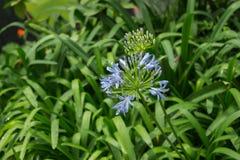 Μπλε λουλούδι στον κήπο μια βροχερή ημέρα Στοκ Φωτογραφίες