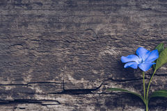 Μπλε λουλούδι στο ξύλινο υπόβαθρο Μπλε βίγκα λουλουδιών Στοκ εικόνα με δικαίωμα ελεύθερης χρήσης