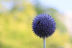 Μπλε λουλούδι σφαιρών Στοκ Φωτογραφία