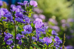 Μπλε λουλούδι της Χαβάης στον κήπο Στοκ Εικόνες