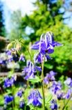 Μπλε λουλούδι του ευρωπαϊκού columbine (Aquilegia vulgaris) σε ηλιόλουστο Στοκ Φωτογραφίες