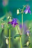 Μπλε λουλούδι του ευρωπαϊκού columbine aquilegia vulgaris Στοκ Εικόνες