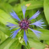 Μπλε λουλούδι, το cornflower μπλε πέταλα Στοκ φωτογραφίες με δικαίωμα ελεύθερης χρήσης
