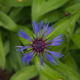 Μπλε λουλούδι, το cornflower μπλε πέταλα Στοκ φωτογραφία με δικαίωμα ελεύθερης χρήσης