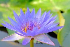 Μπλε λουλούδι λωτού Στοκ εικόνες με δικαίωμα ελεύθερης χρήσης