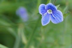 μπλε λουλούδι στοκ φωτογραφία