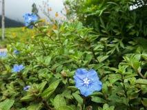 μπλε λουλούδι Στοκ εικόνα με δικαίωμα ελεύθερης χρήσης