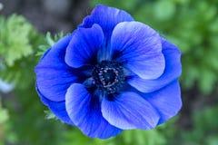 Μπλε λουλούδι Anemone Στοκ φωτογραφίες με δικαίωμα ελεύθερης χρήσης