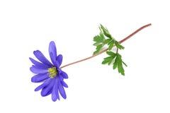 Μπλε λουλούδι Anemones Στοκ εικόνα με δικαίωμα ελεύθερης χρήσης