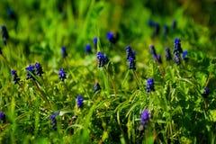Μπλε λουλούδι armeniacum Muscari υάκινθων σταφυλιών στην άνθιση την άνοιξη Στοκ φωτογραφία με δικαίωμα ελεύθερης χρήσης