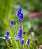 Μπλε λουλούδι armeniacum Muscari υάκινθων σταφυλιών στην άνθιση Στοκ Εικόνα