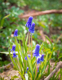 Μπλε λουλούδι armeniacum Muscari υάκινθων σταφυλιών στην άνθιση Στοκ Φωτογραφία