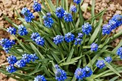 Μπλε λουλούδι armeniacum Muscari υάκινθων σταφυλιών την άνοιξη άνθισης Στοκ Φωτογραφία