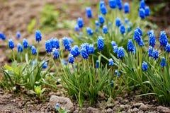Μπλε λουλούδι armeniacum Muscari υάκινθων σταφυλιών την άνοιξη άνθισης Στοκ φωτογραφία με δικαίωμα ελεύθερης χρήσης