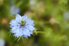 Μπλε λουλούδι damascena Nigella Στοκ Εικόνες