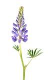 Μπλε λουλούδι Lupine που απομονώνεται στο λευκό Στοκ Εικόνες