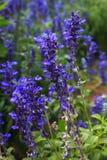 Μπλε λουλούδι Salvia Στοκ φωτογραφία με δικαίωμα ελεύθερης χρήσης