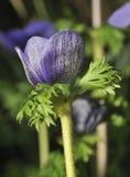 Μπλε οφθαλμός λουλουδιών Anemone Στοκ Εικόνα
