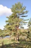 μπλε πέρα από το δέντρο ουρ&al Στοκ εικόνες με δικαίωμα ελεύθερης χρήσης