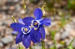 Μπλε πέτρες βουνών κουδουνιών λουλουδιών Στοκ Εικόνες