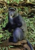 Μπλε πίθηκος Στοκ φωτογραφίες με δικαίωμα ελεύθερης χρήσης