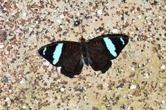 Μπλε-παγωμένη πεταλούδα εμβλημάτων Στοκ Φωτογραφίες