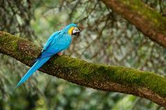 Μπλε παπαγάλος στο δασικό μπλε-και-κίτρινο macaw, το ararauna Ara, το μεγάλο νότο - αμερικανικός παπαγάλος με τα μπλε τοπ μέρη κα Στοκ Φωτογραφίες