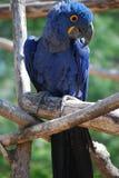 Μπλε παπαγάλος Στοκ εικόνες με δικαίωμα ελεύθερης χρήσης
