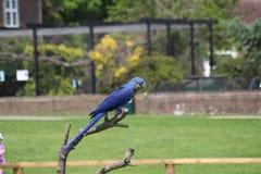 μπλε παπαγάλος Στοκ Φωτογραφίες