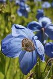 Μπλε παπαρούνα Στοκ Εικόνες