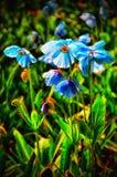 Μπλε παπαρούνες με το backlight από τον ήλιο Στοκ Φωτογραφίες