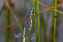 Μπλε-παρακολουθημένο damselfly (Ischnura elegans) Στοκ Εικόνες