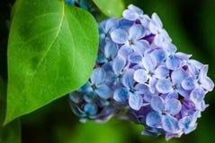 Μπλε πασχαλιά στα πράσινα φύλλα Στοκ Εικόνες