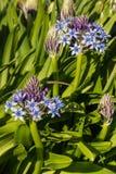 Μπλε περουβιανά λουλούδια κρίνων Στοκ φωτογραφία με δικαίωμα ελεύθερης χρήσης