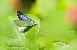 Μπλε πεταλούδα ή Celastrina της Holly Στοκ Φωτογραφίες