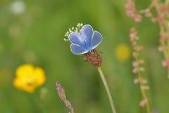 μπλε πεταλούδα κοινή Στοκ Εικόνες
