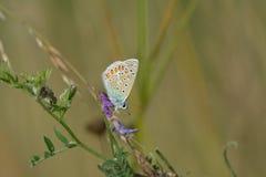 μπλε πεταλούδα κοινή Στοκ εικόνες με δικαίωμα ελεύθερης χρήσης