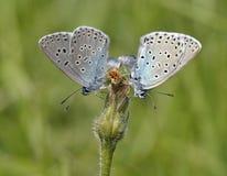 μπλε πεταλούδα μεγάλη Στοκ Εικόνες