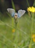 μπλε πεταλούδα μεγάλη Στοκ φωτογραφία με δικαίωμα ελεύθερης χρήσης